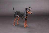 Zwergpinscher_Kobolde_Dog_Model_112